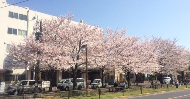 sakura_2015.png